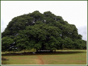 400 years old Banyan tree outside Mysore